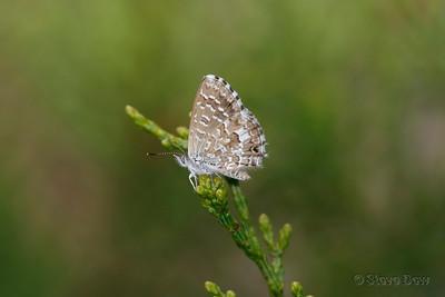 Saltbush Blue