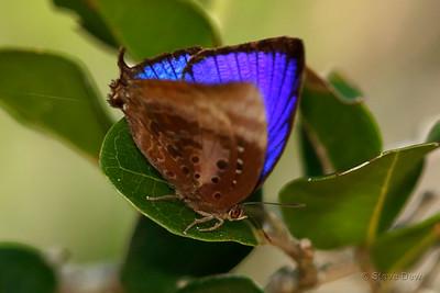 Shining Oak Blue