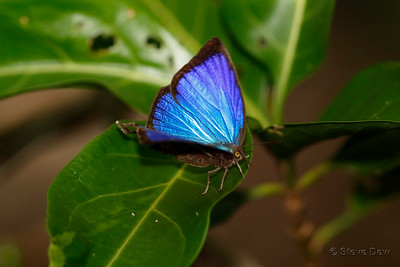 Shining Oak-blue