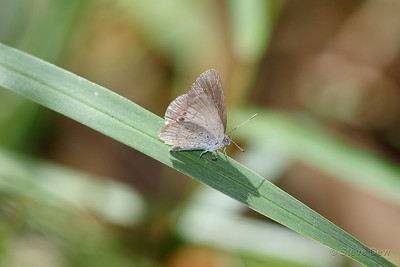 Small Dusky Blue