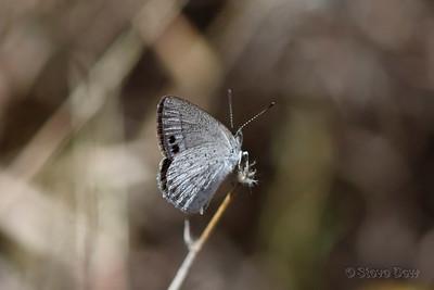 Small Dusky-blue