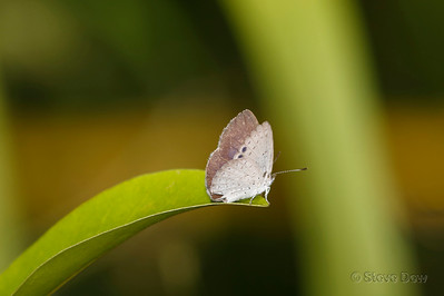 Small Dusky-blue