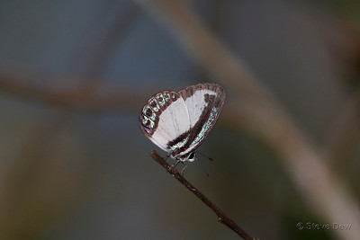 Small Green-banded Blue