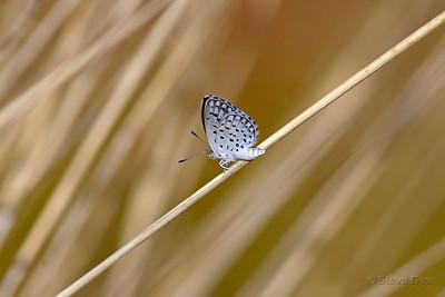 Spotted Dusky-blue