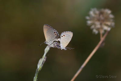 Two-spotted Line-blues