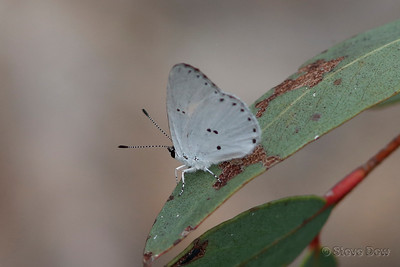 Yellow-spotted Blue