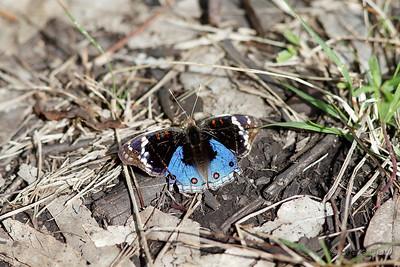 Blue Argus - Male