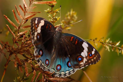 Blue Argus - Female