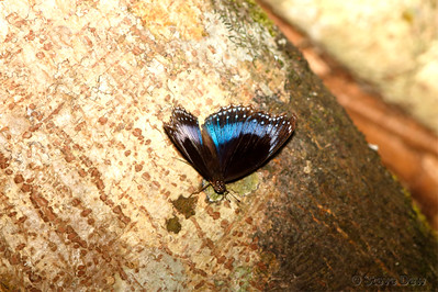 Blue-banded Eggfly - Male