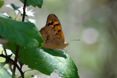 Common Brown Butterfly - Male