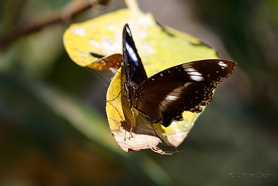 Varied or Common Eggfly