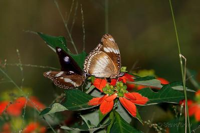 Common or Varied Eggflies