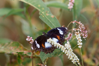 Varied (Common) Eggfly
