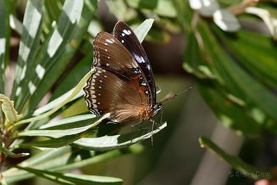 Varied Eggfly - Male