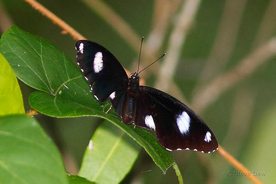 Common Eggfly - Male