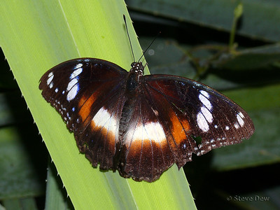 Common Eggfly - Female