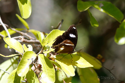 Common or Varied Eggfly