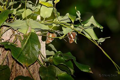 Varied Eggflies