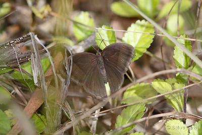 Dingy Bush-brown