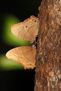 Evening Brown Butterflies