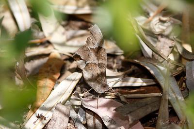 Evening Brown, Dry-season Form - Female