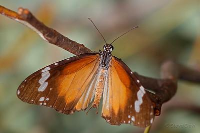 Lesser Wanderer - Female