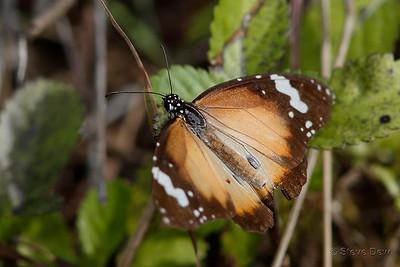 Lesser Wanderer - Male