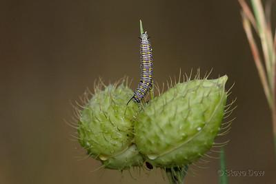 Lesser Wanderer Caterpillar on Milkweed