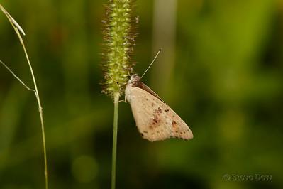 Meadow Argus