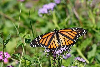 Wanderer or Monarch Butterfly - Female