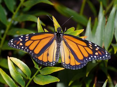 Wanderer or Monarch Butterfly - Male