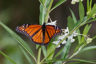 Monarch or Wanderer Butterfly - Male