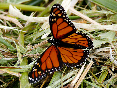Monarch or Wanderer Butterfly