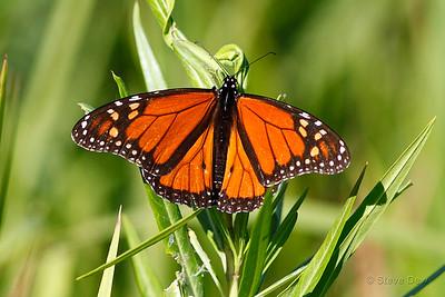 Monarch Butterfly or Wanderer - Male