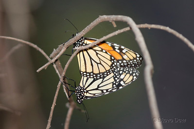 Wanderers or Monarchs