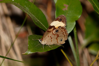 Northern Sword-grass Brown
