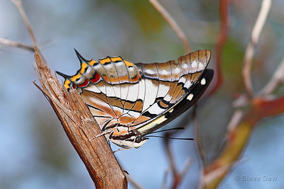 Tailed Emperor