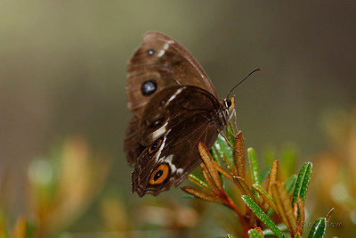 Varied Sword-grass Brown