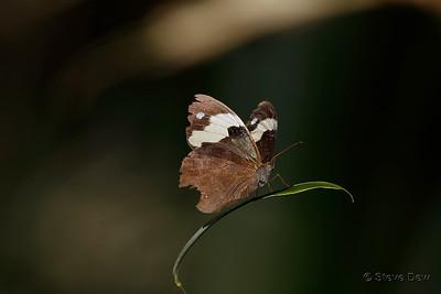 Wonder Brown - Female