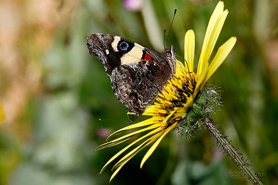 Yellow Admiral on Capeweed