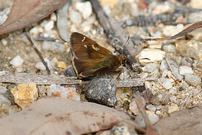 Barred Skipper