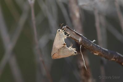 Narrow-winged Awls