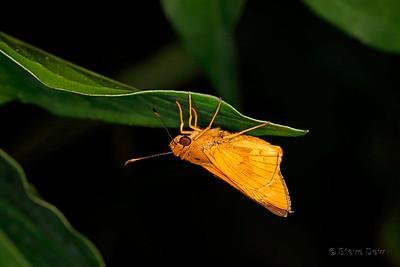 Orange Palm Dart