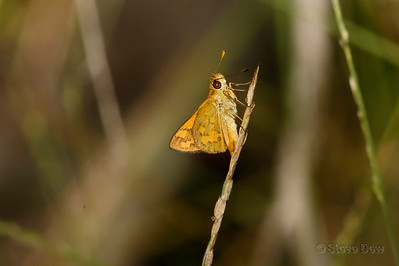 Pale-orange Darter