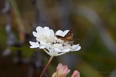 Wedge Grass-skipper on Southern-cross Flower