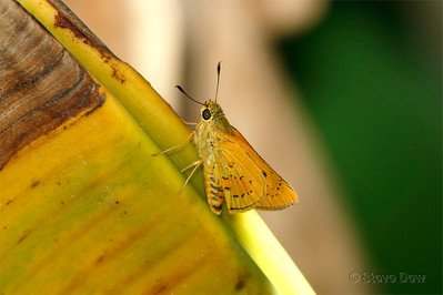 Yellow Palm-dart