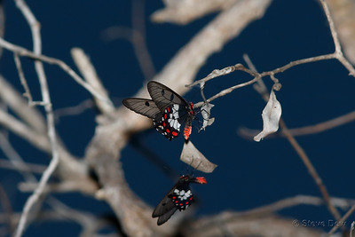 Clearwing Swallowtails