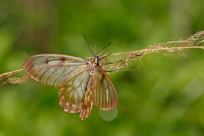 Clearwing Swallowtail - Female