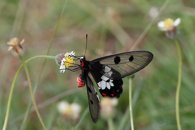 Clearwing Swallowtail