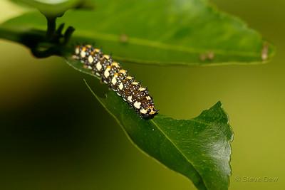 Dainty Swallowtail Caterpillar